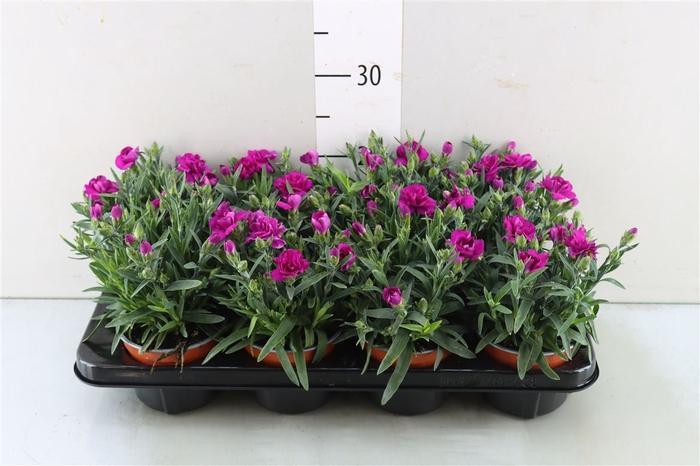 <h4>Dianthus Caryophyllus paars</h4>