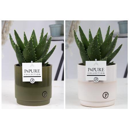 <h4>Aloe Mitriformis Keramiek Julia</h4>