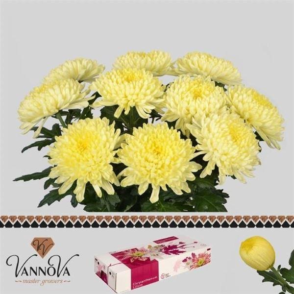 <h4>Chrysanthemum PL 'Gagarin Lunar'</h4>