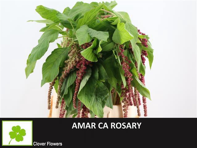 <h4>AMAR CA ROSARY</h4>