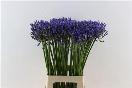 <h4>Agap Uri Blauw 70cm</h4>
