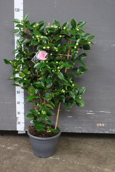 <h4>Camellia japonica 'WilliamBartlett'</h4>