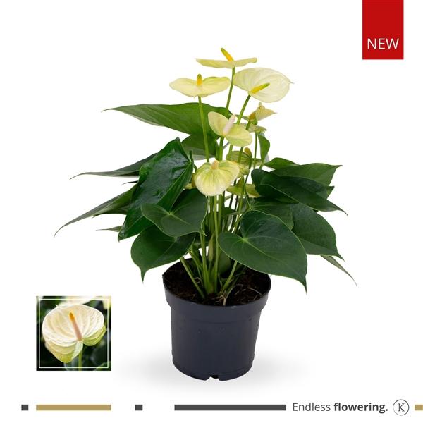 <h4>KARMA - Lime /Vanilla Anthurium   12cm</h4>