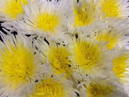 <h4>Chr G Ana White + Yellow</h4>