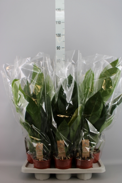 <h4>Anthurium elipticum 'Jungle Bush'</h4>