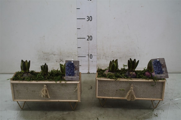 <h4>Hyacinth Mix 3903 Berlin 3pp Mos</h4>