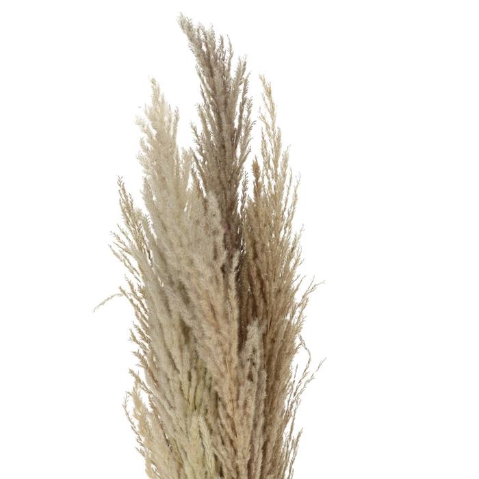 <h4>Droogbloem Pampas gras 120cm x8</h4>