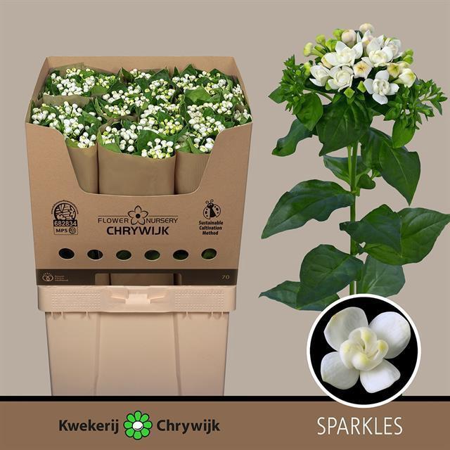 <h4>Bouvardia Diamond Sparkles</h4>