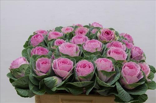 <h4>Brassica pink crane</h4>