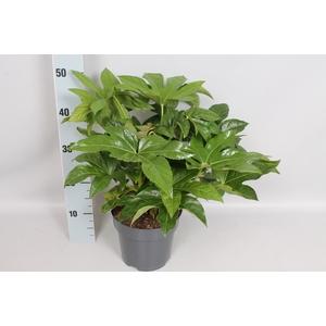 vaste planten 19 cm  Fatsia Japonica