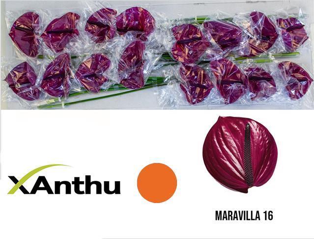 <h4>Anthurium Maravilla</h4>