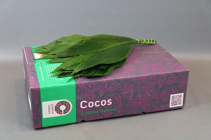 <h4>Cocos Medium Creative Colours</h4>