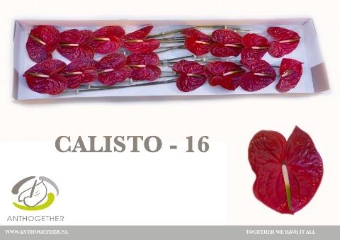 <h4>Anthurium andr. 'Calisto'</h4>