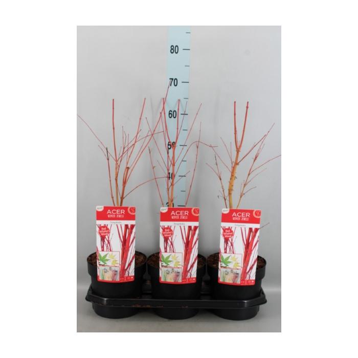<h4>Acer palmatum 'Sangokaku'</h4>