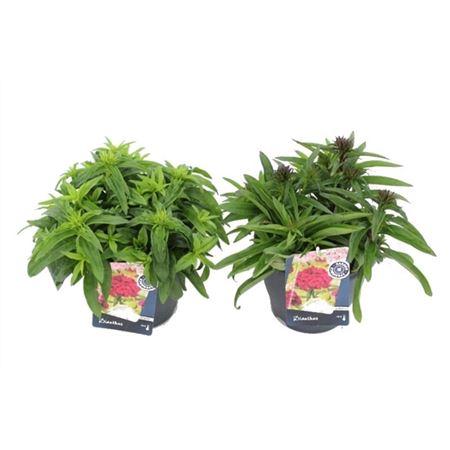 <h4>Dianthus Barbatus Dash Mix</h4>