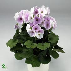<h4>VASTE PLANT 19CM</h4>