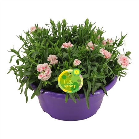 <h4>Hello Spring Dianthus Oscar In Schaal Paars</h4>