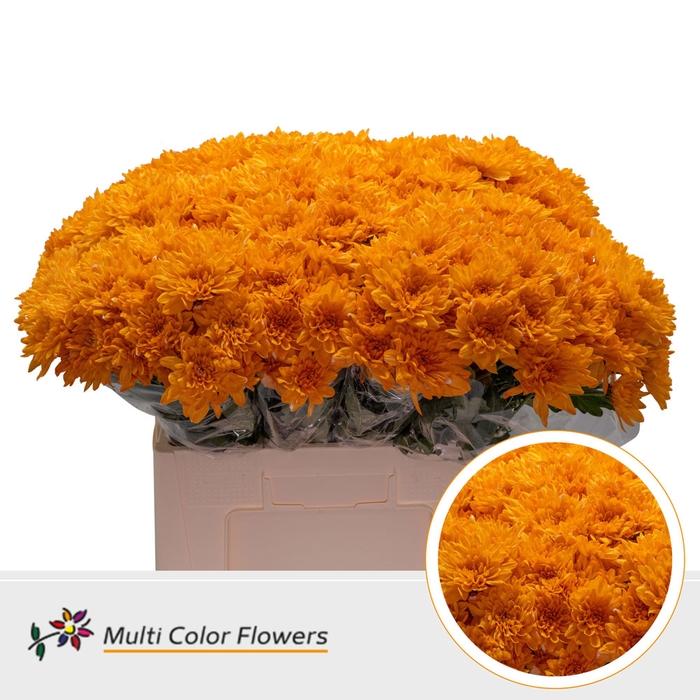 <h4>Chrys.tros Baltica wit gekleurd Oranje</h4>