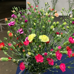 Dianthus Spray Mix P/Color Wh/Yel/Or/Red/Pink/Bicolor