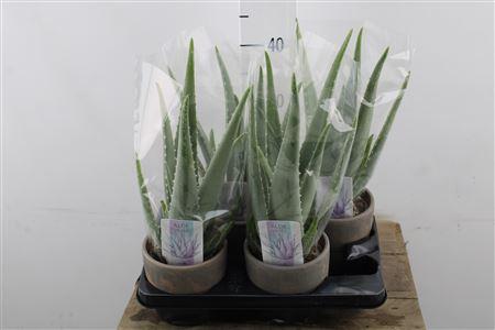 <h4>Aloe Vera Ceramic</h4>