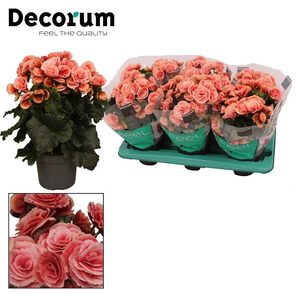 <h4>Begonia ''borias'' 13 cm Decorum</h4>