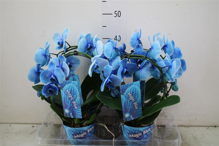 <h4>Phal Wonder Boog Blue</h4>