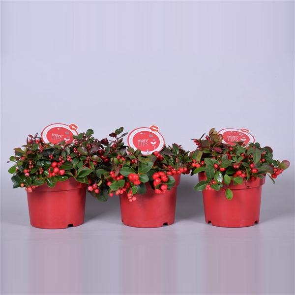 <h4>MoreLIPS® Gaultheria Big Berry, P17</h4>
