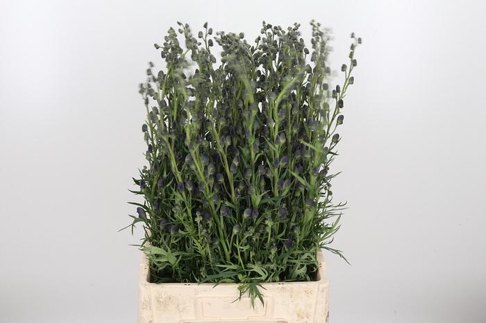 <h4>Aconitum Napellus</h4>