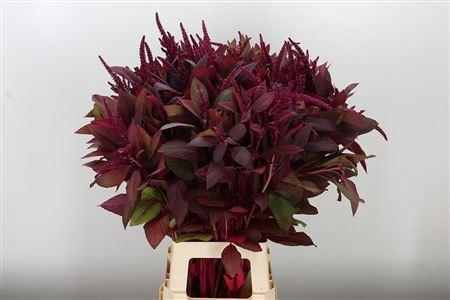 <h4>Amaranthus Cruen Velvet Red</h4>