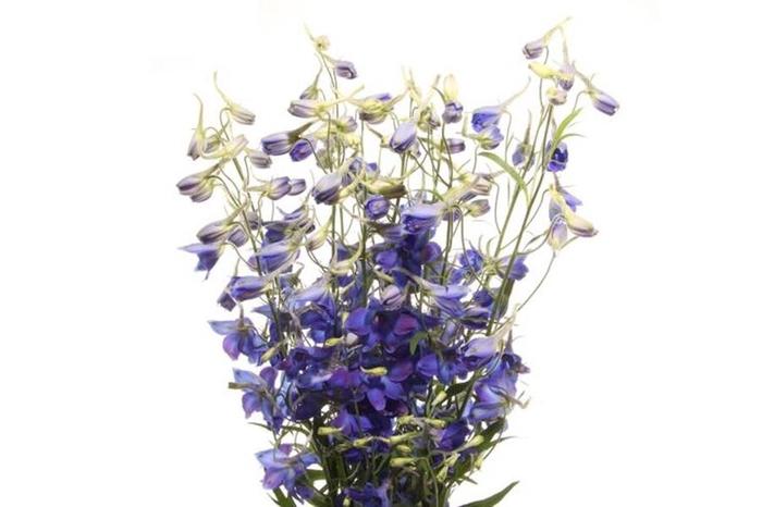 <h4>Delphinium Belladonna Volkerfrieden</h4>