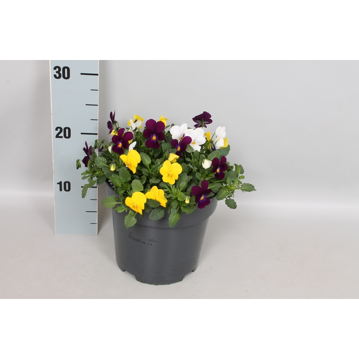 <h4>Viola cornuta 19 cm mix Yellow, violet, white</h4>