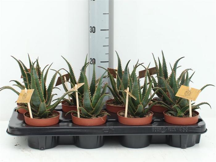 <h4>Aloe Hybride 10,5 Cm</h4>