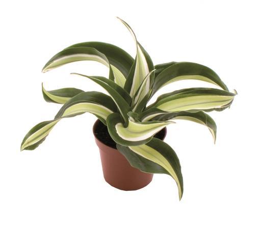 <h4>Dracaena Dragontree Malaika 6Ø 18cm</h4>