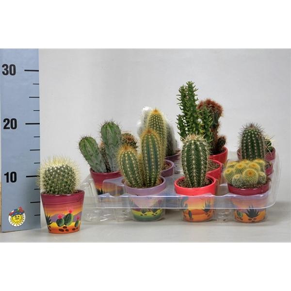<h4>Cactus mix 7 cm. in decor potjes</h4>