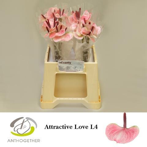 <h4>ANTH ATTRACTIVE LOVE</h4>
