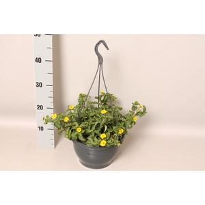 Hangpot 23 cm Sanvitalia