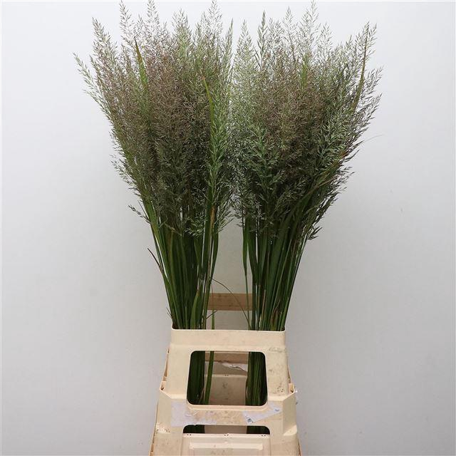 <h4>Calamagrostis Brachy</h4>