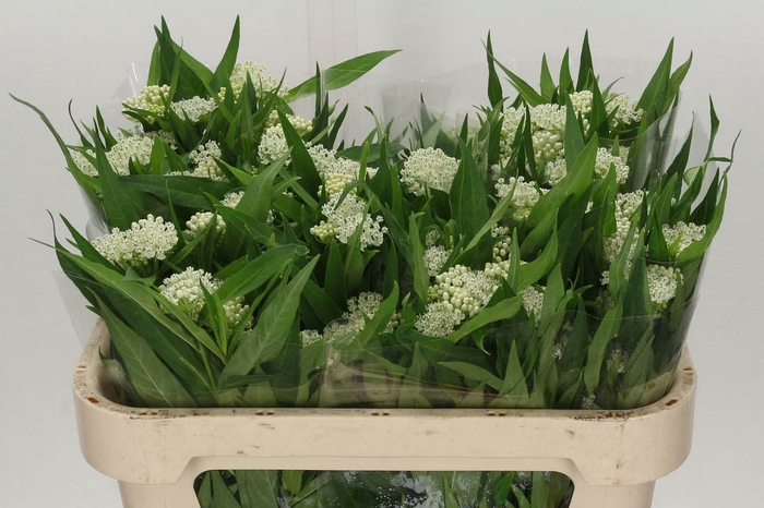 <h4>Asclepias In Ice Ballet</h4>