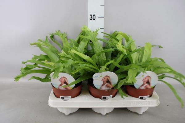 <h4>Asplenium nidus 'Crissie'</h4>