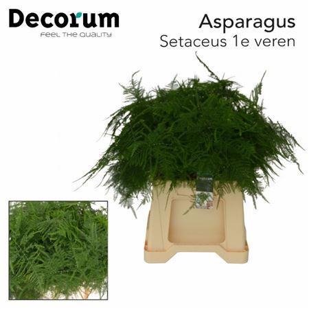 <h4>ASPARAGUS SETACEUS 1STE VEREN</h4>