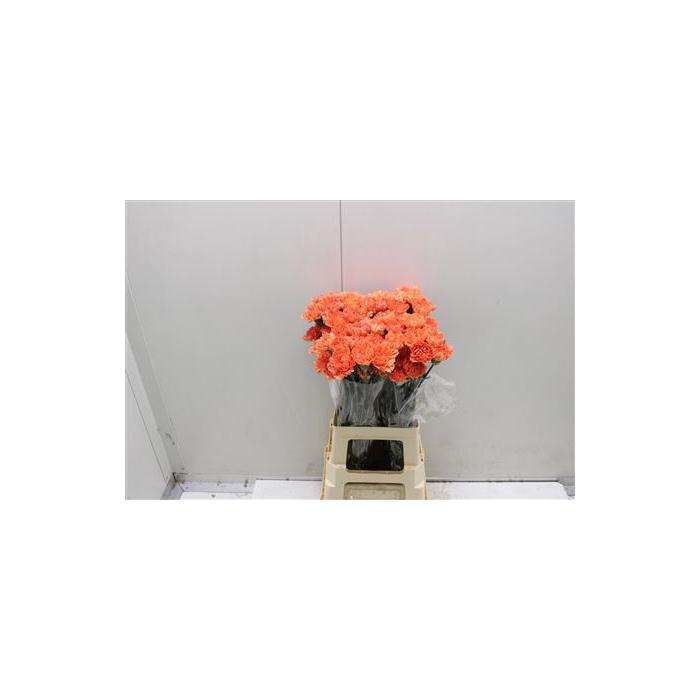 <h4>Di St Hermes Oranje</h4>