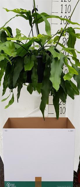 <h4>Epiphyllum 25Ø 70cm</h4>