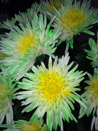 <h4>Chr G Ana Tips Green + Yellow</h4>