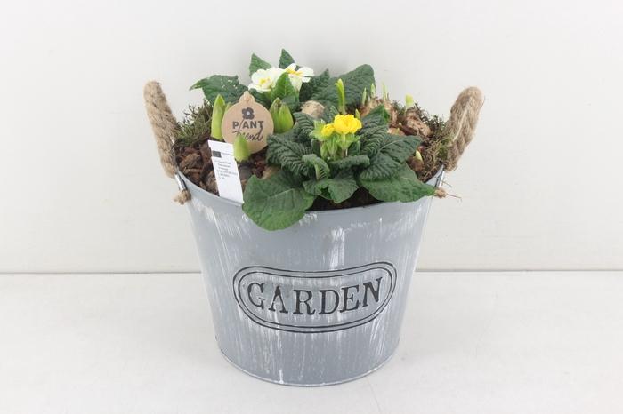 <h4>arr.. Primula PL - Zink emmer garden</h4>