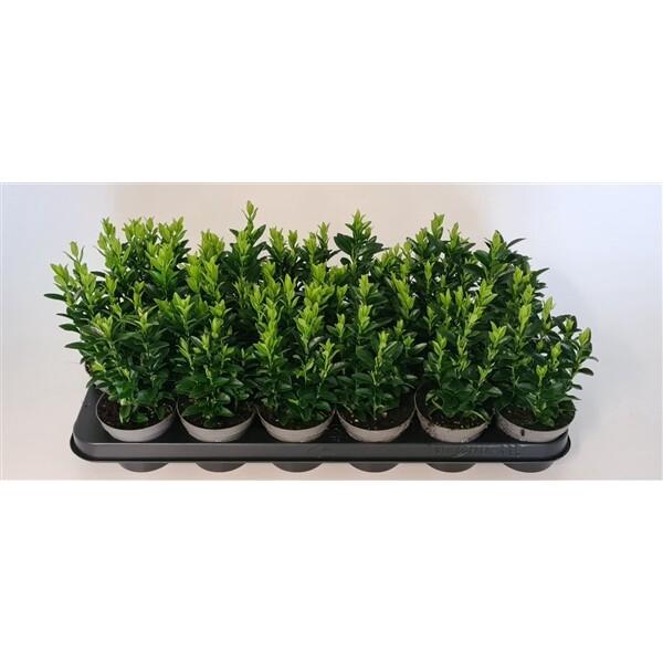 <h4>Euonymus jap. Green Spire</h4>