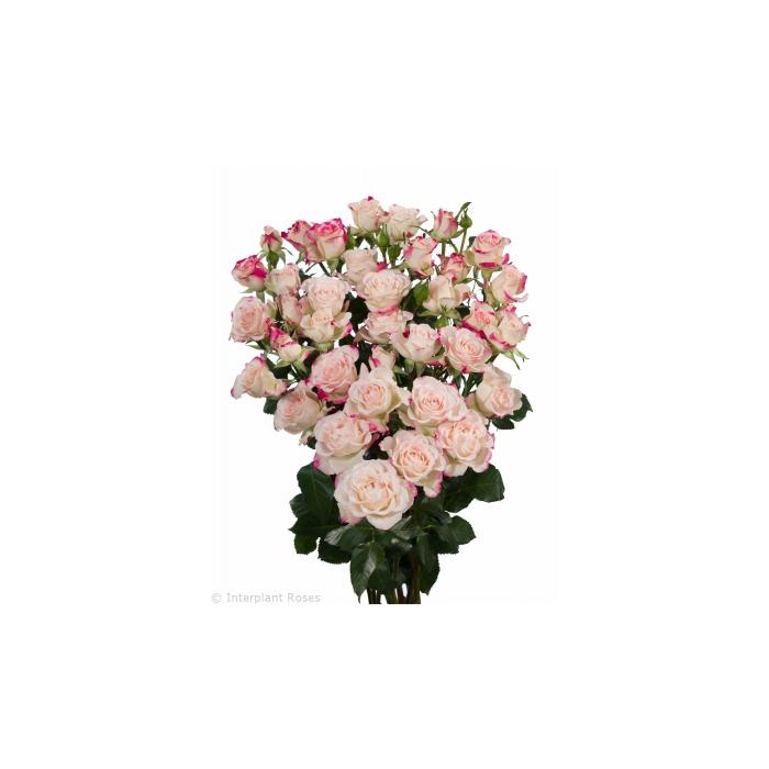 <h4>多头玫瑰 反射</h4>