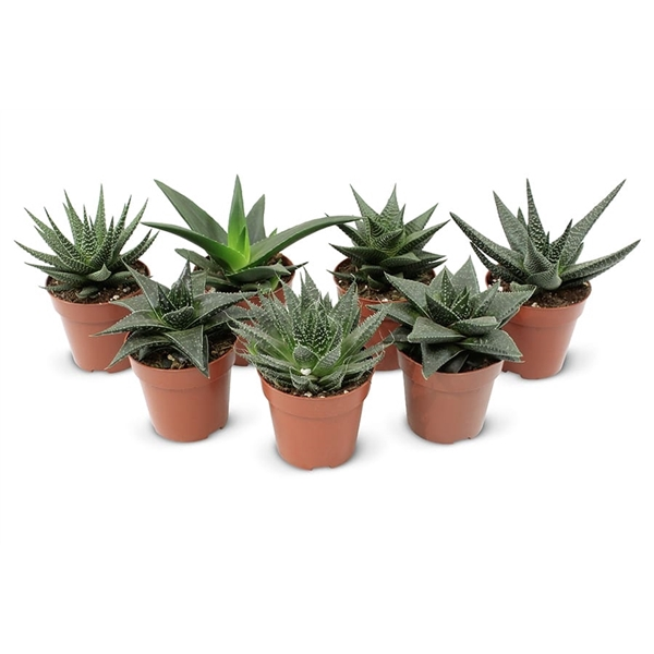 <h4>Aloe-Haworthia mix Premium</h4>