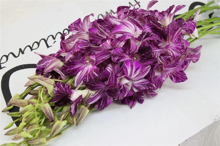 <h4>Dendrobium Jessica</h4>