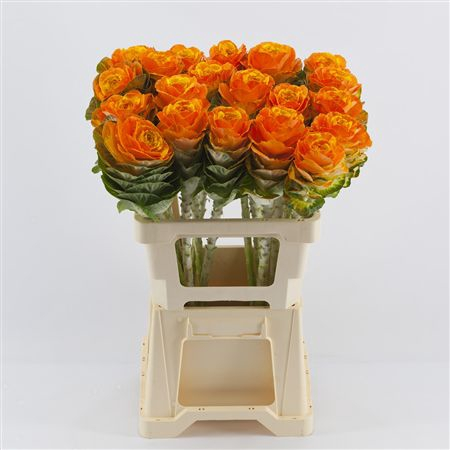 <h4>Brassica Orange-yellow</h4>