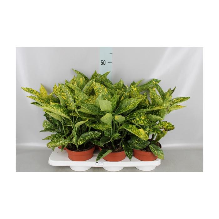 <h4>Aucuba japonica   ...</h4>